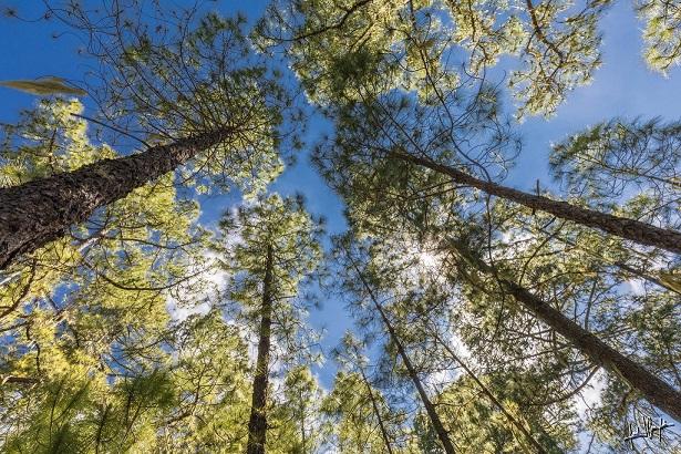 bosques naturales de pino canario
